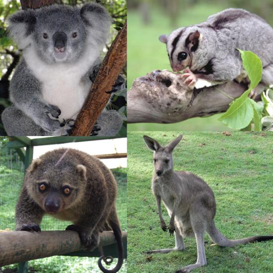 Marsupialia_collage