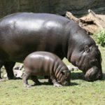 Información sobre los hipopótamos: Gestación, alimentación y conservación