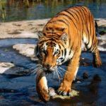 Información sobre los tigres: Tamaño y hábitat