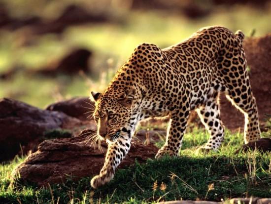 Leopardo Cazando_800