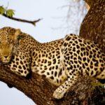 Información sobre los Leopardos: Dieta y conservación