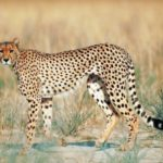 Información sobre los Guepardos: Hábitat y caza