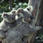 Información sobre los Koalas: estado de conservación