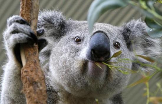 koala-dormilon01