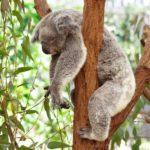 Información sobre los Koalas: Hábitat y alimentación