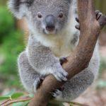 Información sobre los Koalas: Tamaño y apariencia