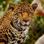 Información sobre los leopardos: Hábitos y dieta