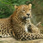 Información sobre los Leopardos: Su tamaño y hábitat