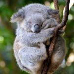 Información sobre los Koalas: Crías y gestación