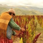 Información sobre la Quinua: Utilización, procedencia y especies