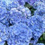 Las variedades de hortensias y sus cuidados