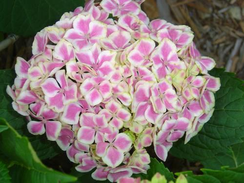 Las variedades de hortensias y sus cuidados informaci n - Cuidado de las hortensias ...