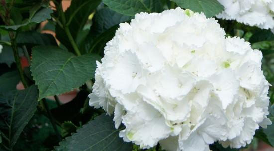 Cuidados de la hortensia finest las flores ms bonitas - Hortensias cuidados poda ...