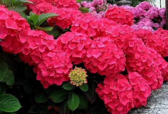 Las hortensias mitos y curiosidades sobre el color de sus - Como cuidar una hortensia de exterior ...