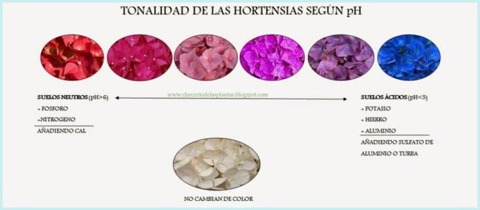 Las hortensias mitos y curiosidades sobre el color de sus flores informaci n - Cuidados de las hortensias ...