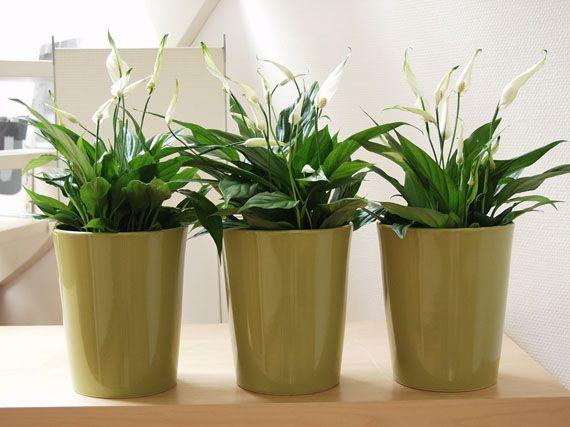 Informaci n de jardiner a c mo cuidar para plantas de - Plantas de interior para salon ...