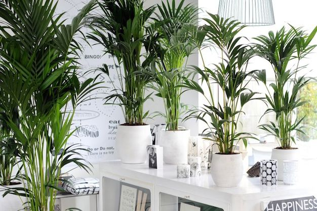 Informaci n sobre las plantas de interior informaci n - Plantas de interior grandes ...
