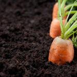 Información para cosechar zanahorias deliciosas y crujientes