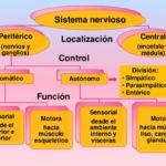 Información de diferencia entre Sistema Nervioso Central y Periférico con cuadros sinópticos