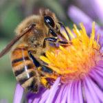 Información sobre las abejas y sus funciones biológicas