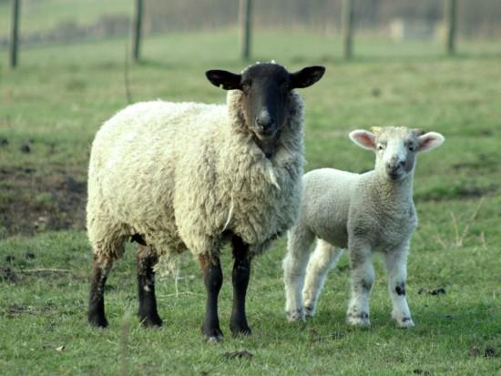 Sexo con videos de ovejas