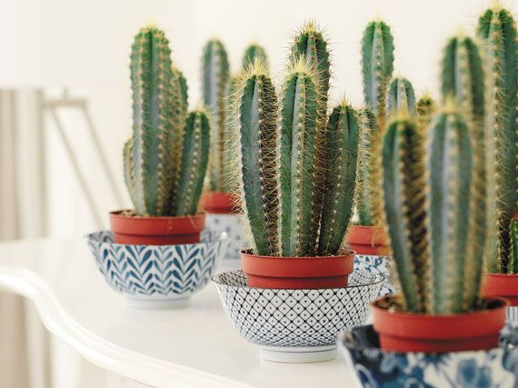 información sobre los cactus, sus características y cuidados