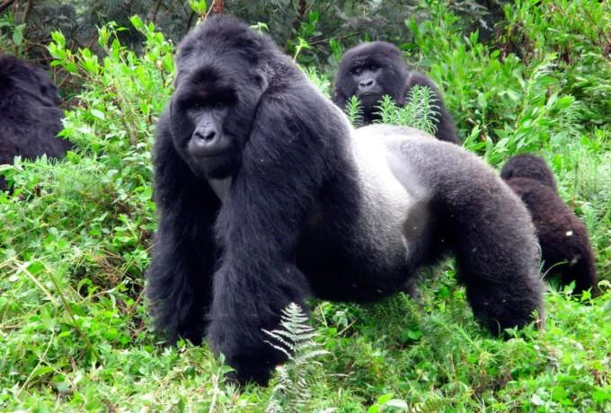 reproduccion-de-los-gorilas-de-montana