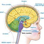 Sistema Nervioso Humano: caracteristicas, partes, funcionamiento, información completa