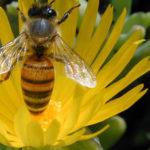 La abeja: información completa