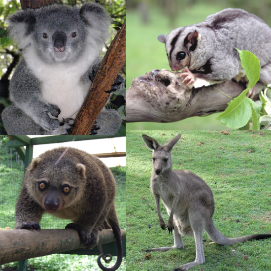 Marsupialia_collage