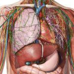 Información sobre la anatomía humana