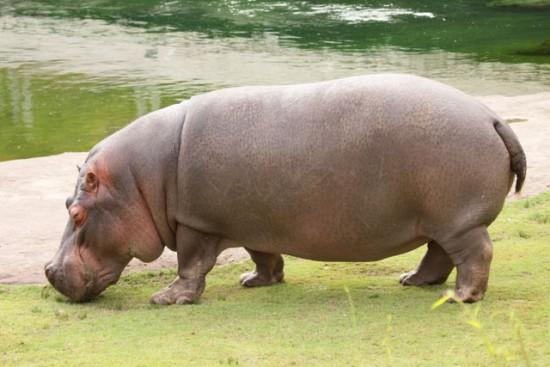 Hipopotamo_04