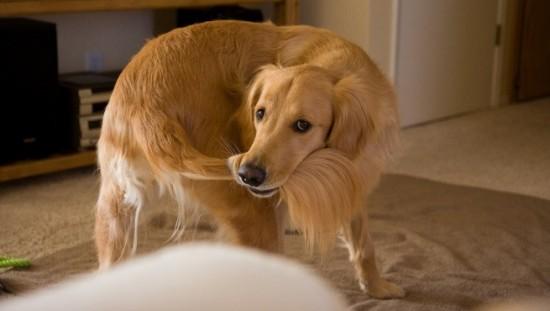 conductas_compulsivas_en_perros