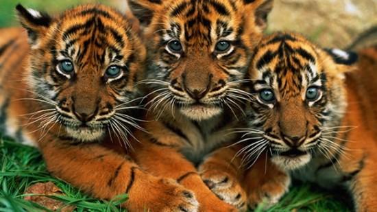 tigre-de-sumatra-animales-extincion