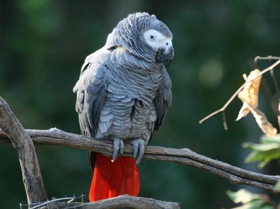 Loro-gris-africano-del-Congo