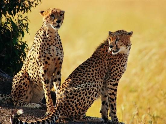 guepardos-1186