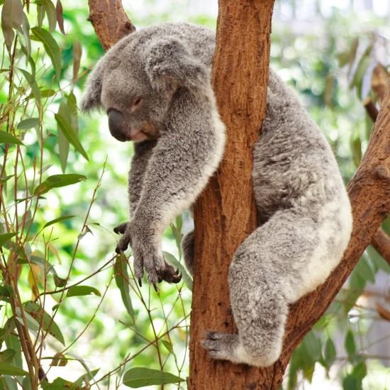 koala-en-peligro-de-extincion-9-1024x1024-1