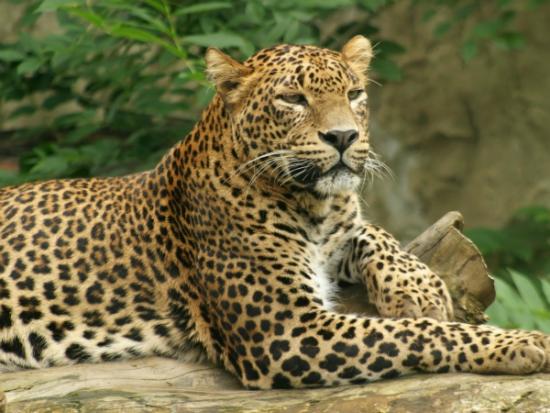 leopardo-sentado