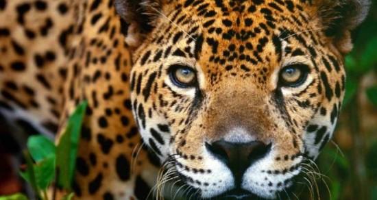 leopardos-01_g-08-660x350