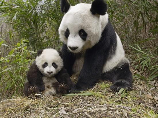 panda-1600