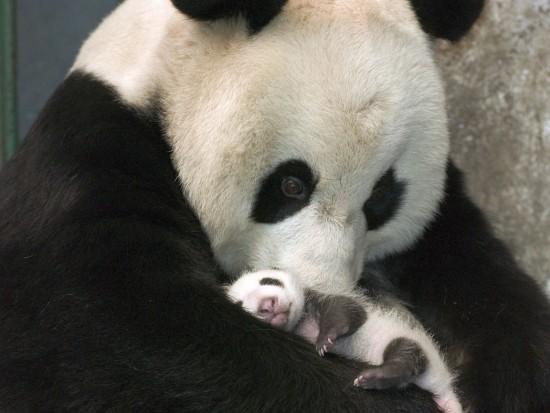 panda00