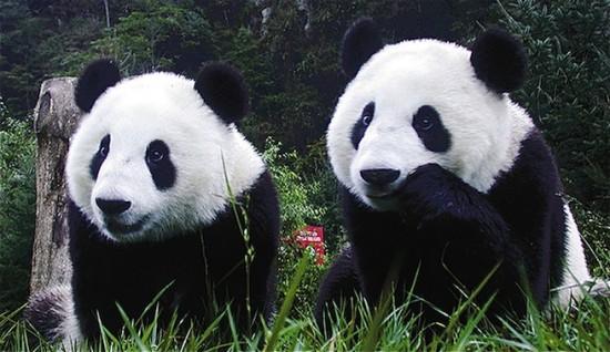 pandas_gigantes_56567