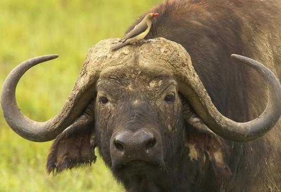 bufaloafricano1