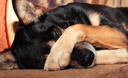 Sheep dog covering her eyes with her paw