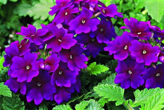 verbena-lanai-royal-purple