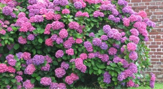 Las Hortensias Mitos Y Curiosidades Sobre El Color De Sus Flores - Color-de-las-hortensias