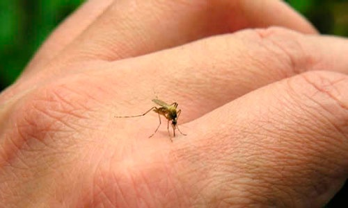 chikungunya.jpg_1496576422