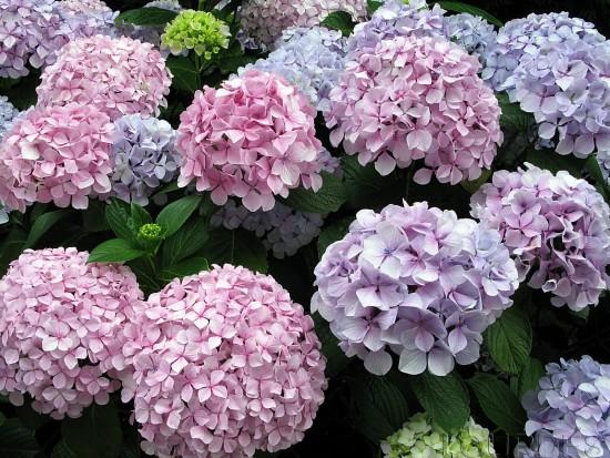 Las Hortensias Mitos Y Curiosidades Sobre El Color De Sus Flores - Color-hortensia