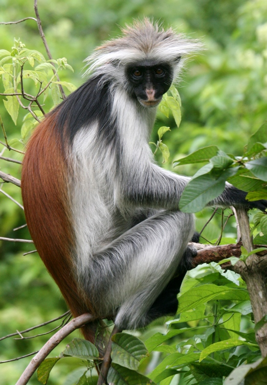 monoimg_3456-red-colobus