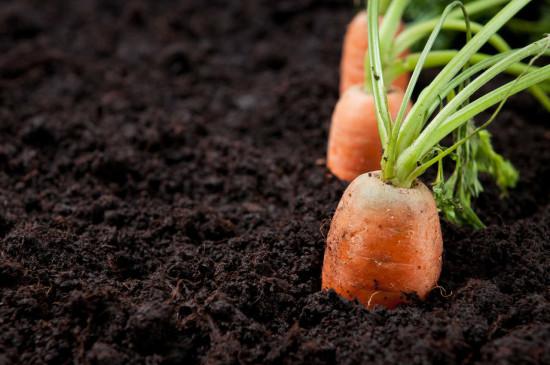 zanahorias-en-casa-1